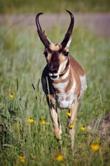 01 3x5 SD Antelope