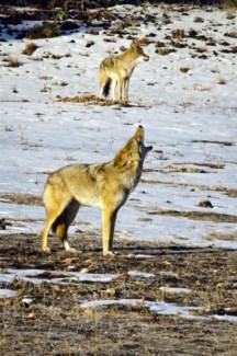 01 3x5 SD Coyote