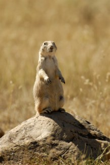 01 3x5 SD Prairie Dog