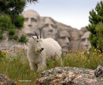06 5x6 SD Mt. Rushmore w/ Billy Goat