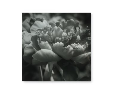 Black & White Flower - Acrylic Dry Mount / I